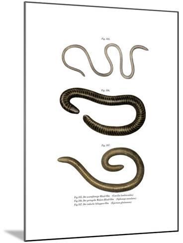 Wormlike Caecilia--Mounted Giclee Print