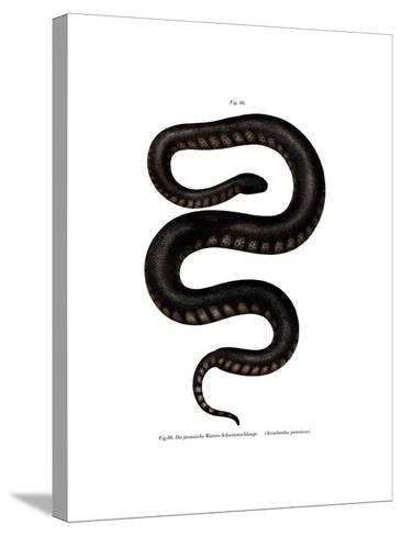 Javan File Snake--Stretched Canvas Print