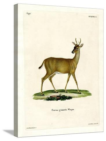 Virginian Deer--Stretched Canvas Print