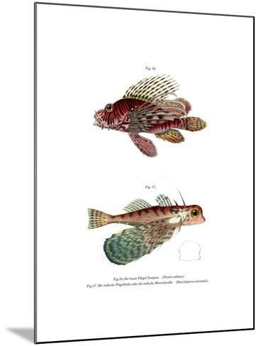Spotfin Lionfish--Mounted Giclee Print