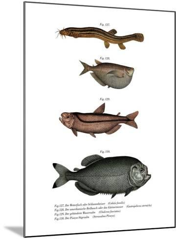 Weather Loach--Mounted Giclee Print