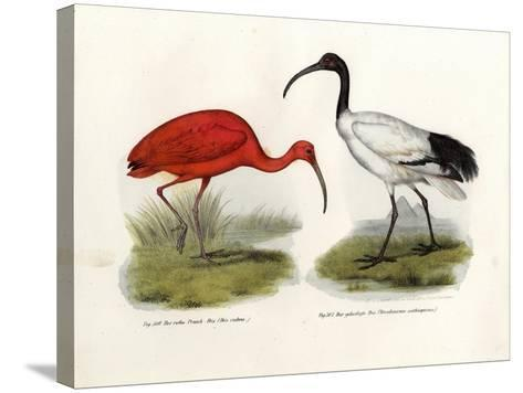 Scarlet Ibis, 1864--Stretched Canvas Print