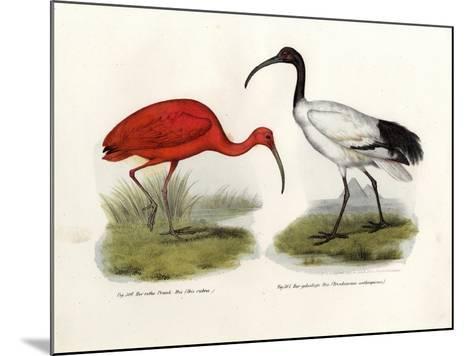 Scarlet Ibis, 1864--Mounted Giclee Print