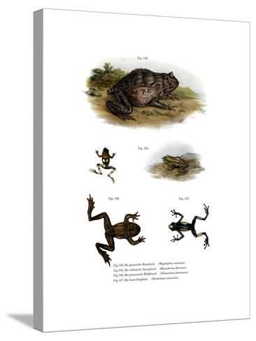 Asian Horned Frog--Stretched Canvas Print