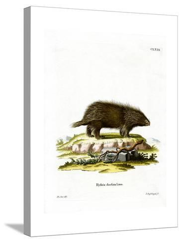 Canadian Porcupine--Stretched Canvas Print