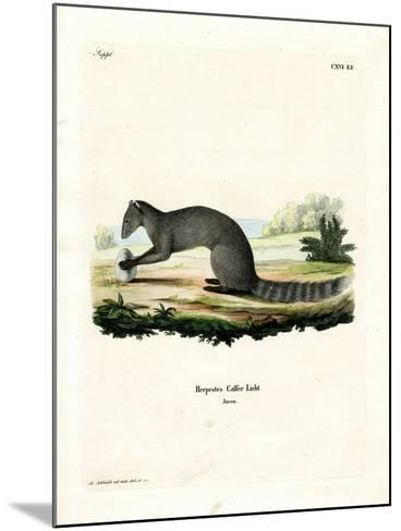 Cape Grey Mongoose--Mounted Giclee Print