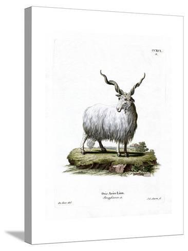 Wallachian Sheep--Stretched Canvas Print