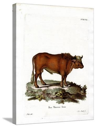 Domestic Cattle--Stretched Canvas Print