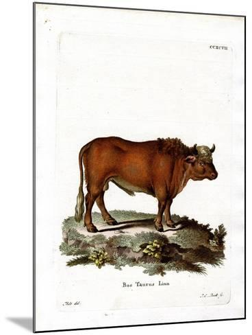 Domestic Cattle--Mounted Giclee Print