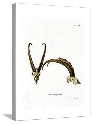 Wild Goat Horns--Stretched Canvas Print