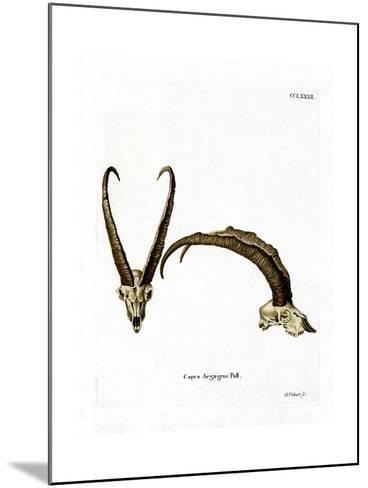 Wild Goat Horns--Mounted Giclee Print