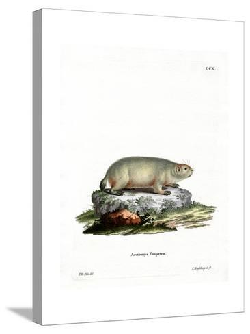 Canadian Marmot--Stretched Canvas Print