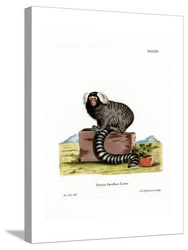 Common Marmoset--Stretched Canvas Print