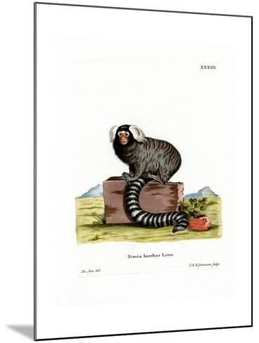 Common Marmoset--Mounted Giclee Print