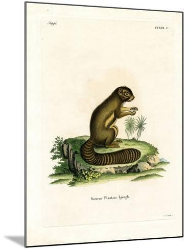 Plantain Squirrel--Mounted Giclee Print
