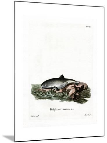 Harbor Porpoise--Mounted Giclee Print