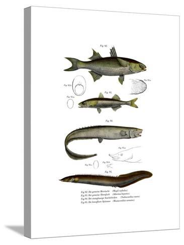 Flathead Mullet--Stretched Canvas Print