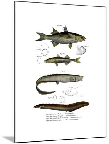 Flathead Mullet--Mounted Giclee Print