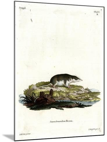 Bicolored Shrew--Mounted Giclee Print