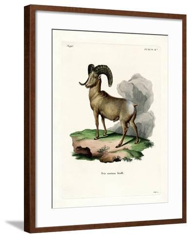 Bighorn Sheep--Framed Art Print