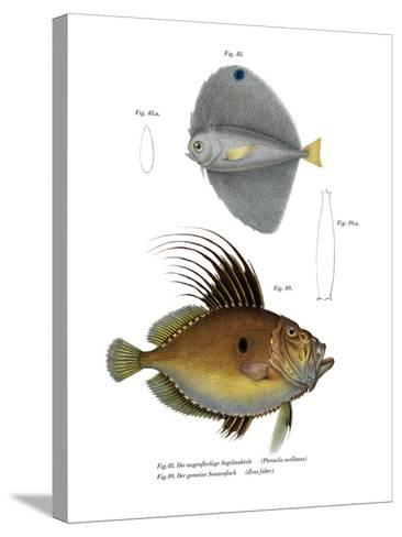 Spotted Fanfish--Stretched Canvas Print