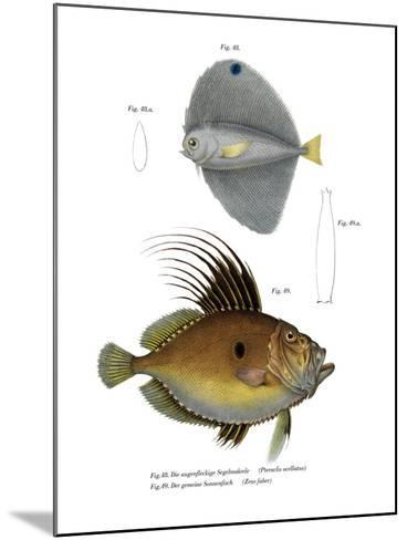 Spotted Fanfish--Mounted Giclee Print