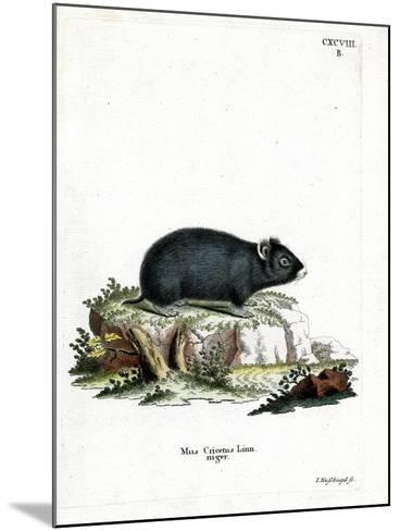 Black Hamster--Mounted Giclee Print