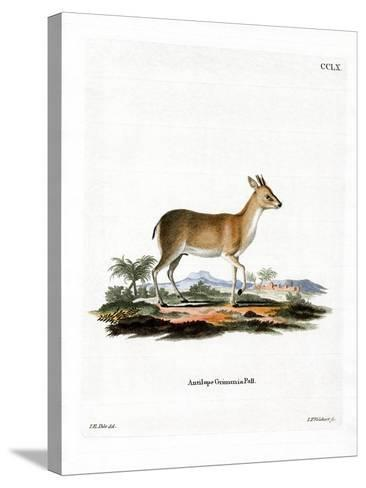 Common Duiker--Stretched Canvas Print