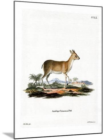 Common Duiker--Mounted Giclee Print