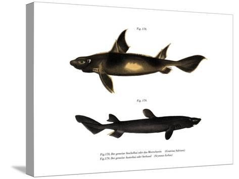 Angular Roughshark--Stretched Canvas Print