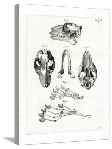 Flying Lemur Skull--Stretched Canvas Print