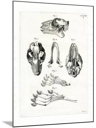 Flying Lemur Skull--Mounted Giclee Print