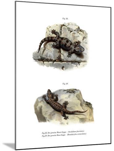 Ringed Wall Gecko--Mounted Giclee Print