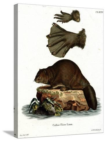 European Beaver--Stretched Canvas Print