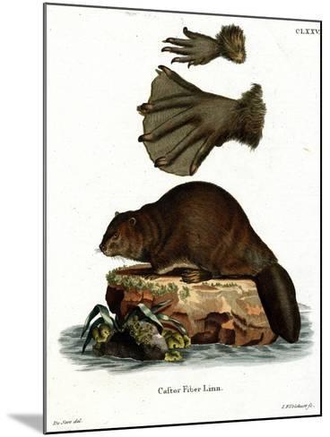 European Beaver--Mounted Giclee Print