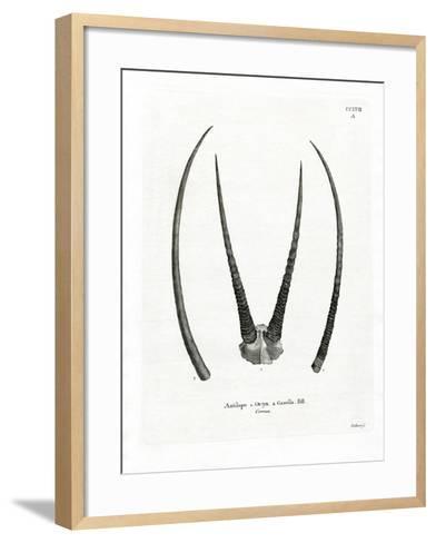 Arabian Oryx Horns--Framed Art Print