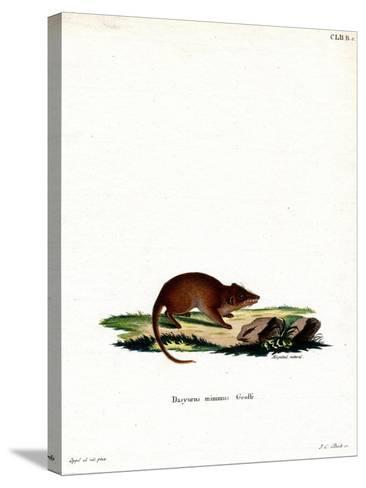Swamp Antechinus--Stretched Canvas Print