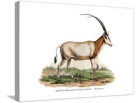 Arabian Oryx, 1860--Stretched Canvas Print