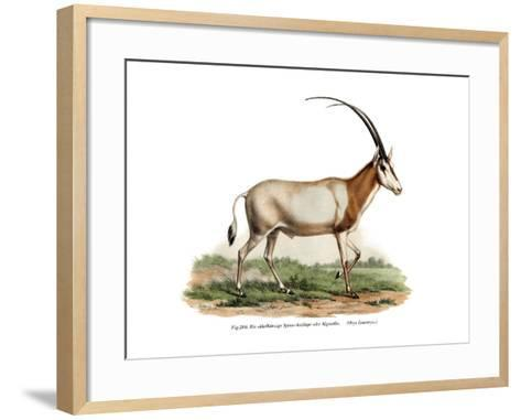 Arabian Oryx, 1860--Framed Art Print