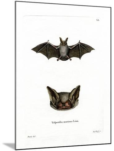 Particoloured Bat--Mounted Giclee Print