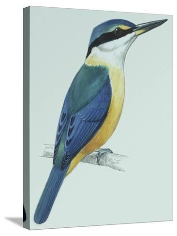 Birds: Coraciiformes, Sacred Kingfisher (Todiramphus Sanctus)--Stretched Canvas Print