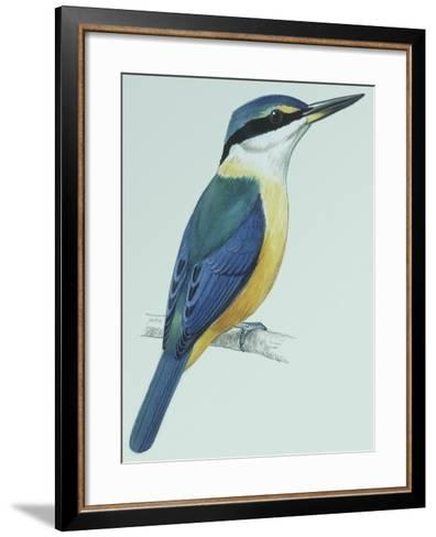 Birds: Coraciiformes, Sacred Kingfisher (Todiramphus Sanctus)--Framed Art Print