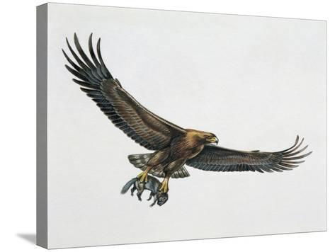 Low Angle View of a Golden Eagle Gripping a Rat (Aquila Chrysaetos)--Stretched Canvas Print
