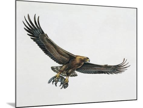 Low Angle View of a Golden Eagle Gripping a Rat (Aquila Chrysaetos)--Mounted Giclee Print