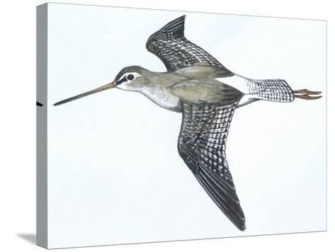 Birds: Charadriiformes, Spotted Redshank (Tringa Erythropus)--Stretched Canvas Print