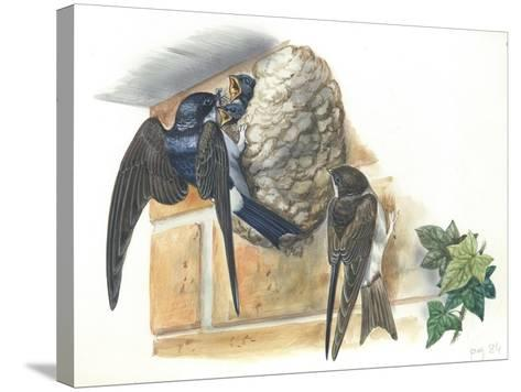 Common House Martin Delichon Urbicum Feeding Young in Nest--Stretched Canvas Print