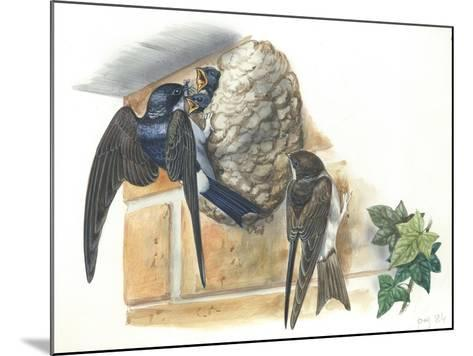 Common House Martin Delichon Urbicum Feeding Young in Nest--Mounted Giclee Print