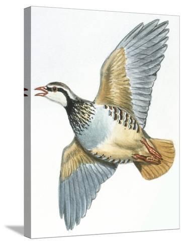 Birds: Galliformes, Red-Legged Partridge (Alectoris Rufa)--Stretched Canvas Print