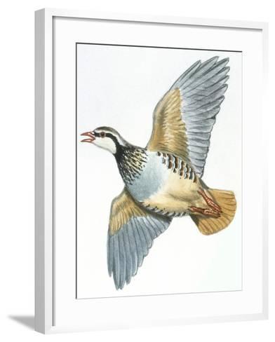 Birds: Galliformes, Red-Legged Partridge (Alectoris Rufa)--Framed Art Print