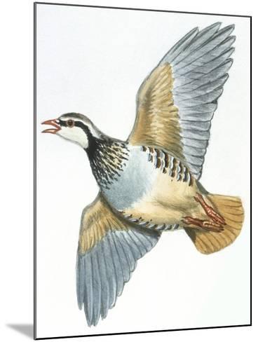 Birds: Galliformes, Red-Legged Partridge (Alectoris Rufa)--Mounted Giclee Print